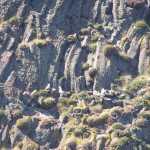 Boven op de basaltrotsen nestelden meeuwen (stormmeeuw of drieteenmeeuw)