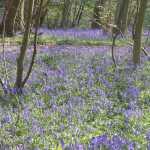 de bluebells bloeiden nu overal uitbundig