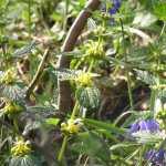 tussen de bluebells vonden we ook heel wat andere bloemen, zoals deze gele dovenetel