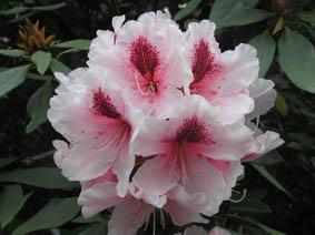 rhododenron.JPG